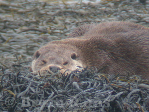 Otter seen on mull wildlife tour